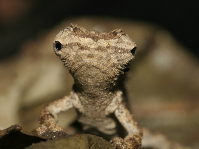 World's Tiniest Chameleon Discovered [LiveScience 2012-02-14]; Image ONLY