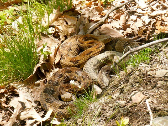 Image Gallery: The Social Lives of Rattlesnakes - Timber Rattlesnake (Crotalus horridus) [LiveScience 2012-02-21]; Image ONLY