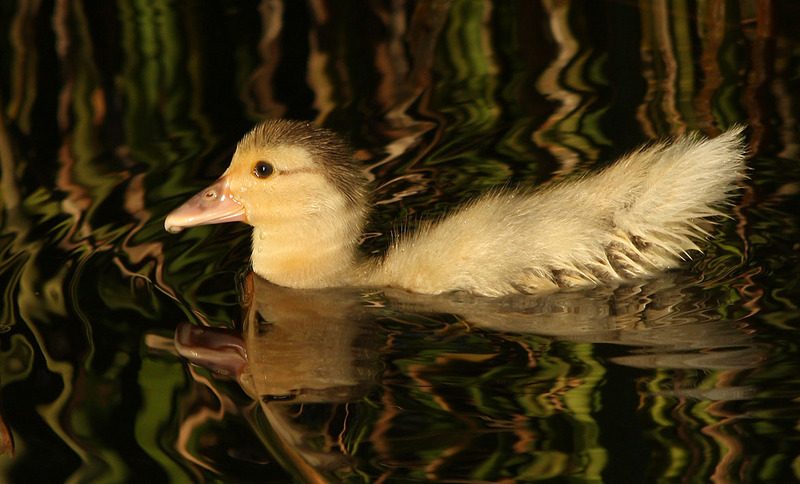 Duckling; DISPLAY FULL IMAGE.