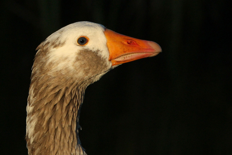 Goose; DISPLAY FULL IMAGE.