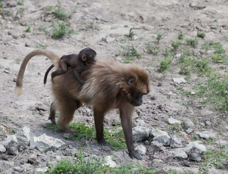 Image Gallery: Cute Gelada Monkeys [LiveScience 2012-02-23]; Image ONLY