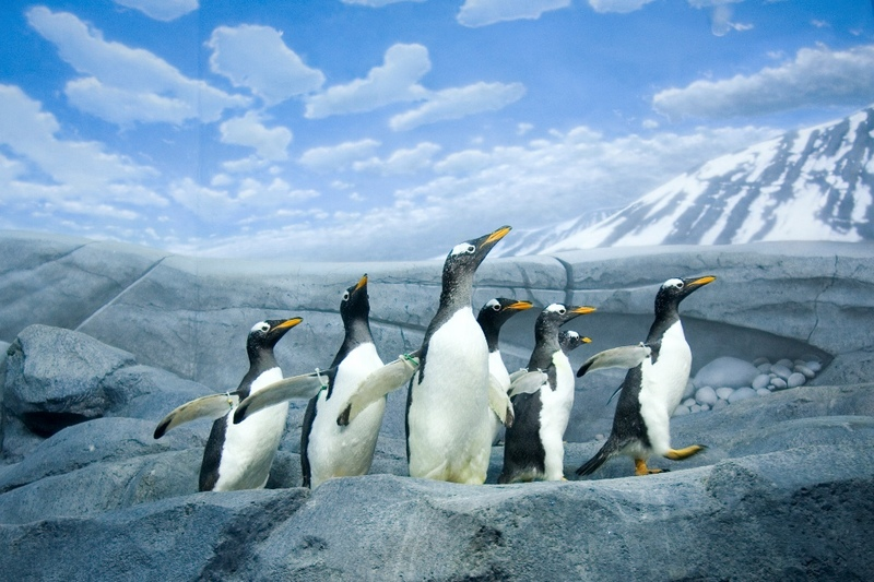 Happy Feet: A Gallery of Pudgy Penguins - Gentoo penguin [LiveScience 2012-02-27]; DISPLAY FULL IMAGE.