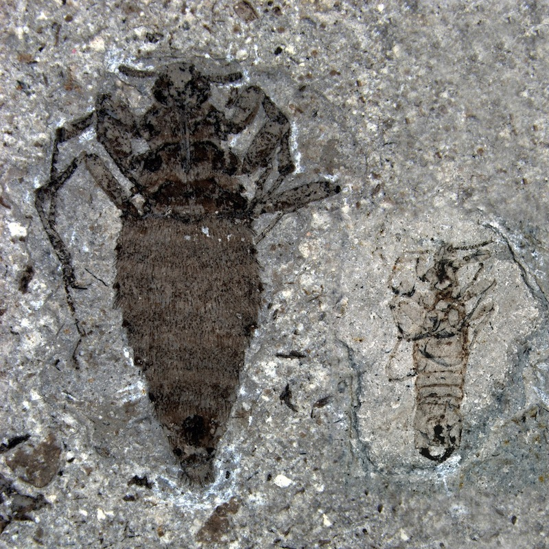 Giant Bloodsuckers! Oldest Fleas Discovered [LiveScience 2012-02-29]; DISPLAY FULL IMAGE.