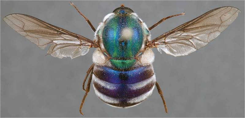 Jewel-colored Flies Spell Death for Baby Spiders [LiveScience 2012-03-06]; DISPLAY FULL IMAGE.