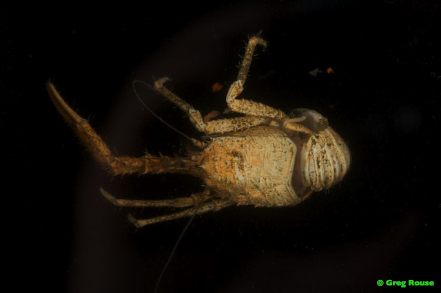 Gallery: Life of the Costa Rica Margin Hydrothermal Seep - Galatheidae squat lobster [LiveScience 2012-03-06]; Image ONLY