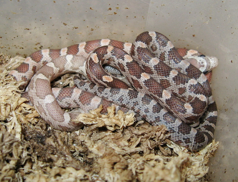 hypomelanistic, lavender, and normal cornsnake (hatchlings); DISPLAY FULL IMAGE.