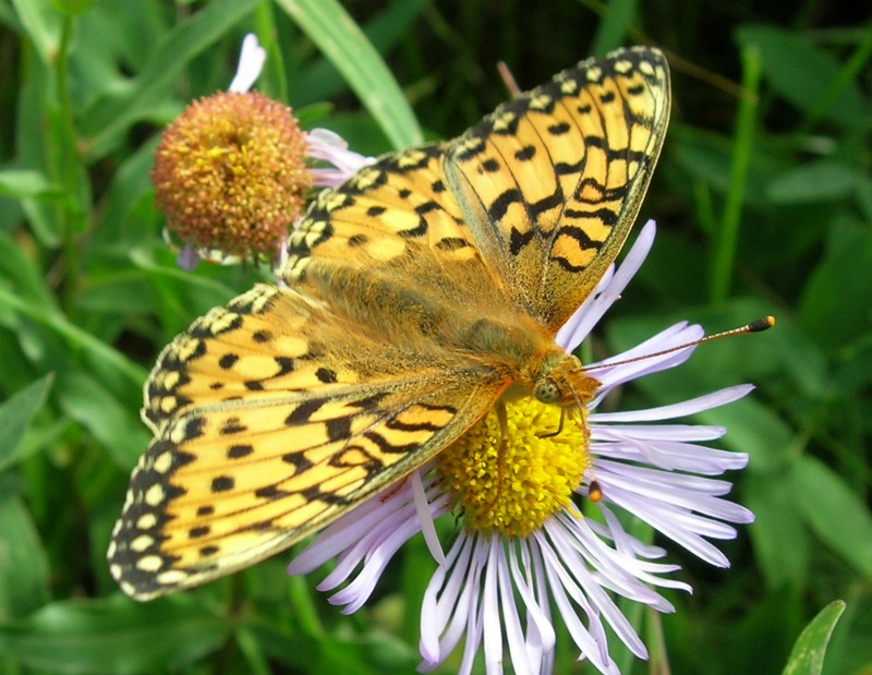 Early Spring Is Bad News for Butterflies [LiveScience 2012-03-15]; Image ONLY