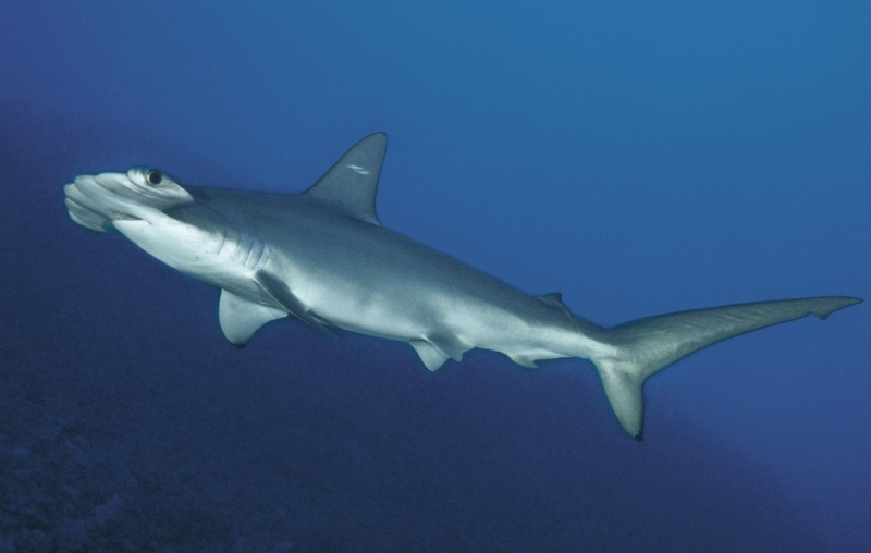 Newly Discovered Hammerhead Shark's 'Twin' Sparks Concern [LiveScience 2012-03-27]; Image ONLY