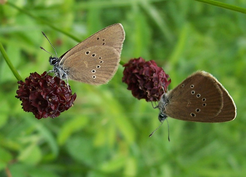 How to Save Europe's Threatened Butterflies [LiveScience 2012-03-29]; Image ONLY