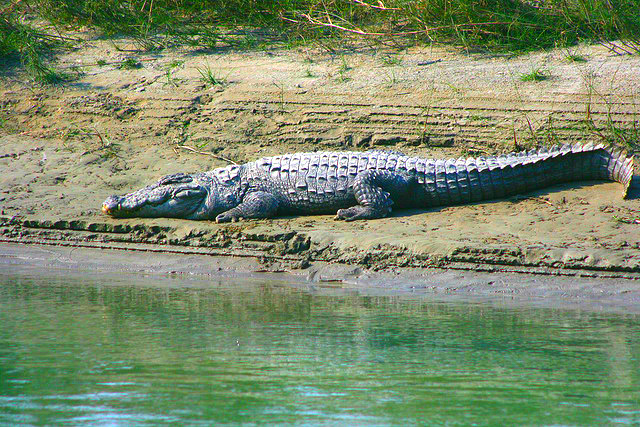 Marsh mugger crocodile (Crocodylus palustris); Image ONLY