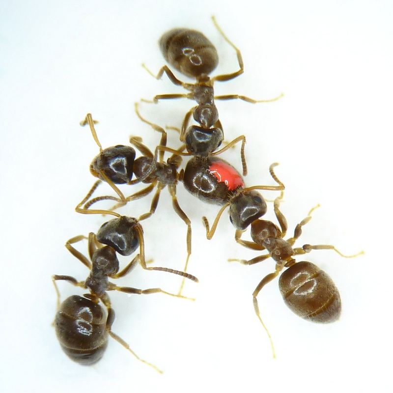 Sick Ants Help Vaccinate Colonies, Study Suggests [LiveScience 2012-04-03]; DISPLAY FULL IMAGE.