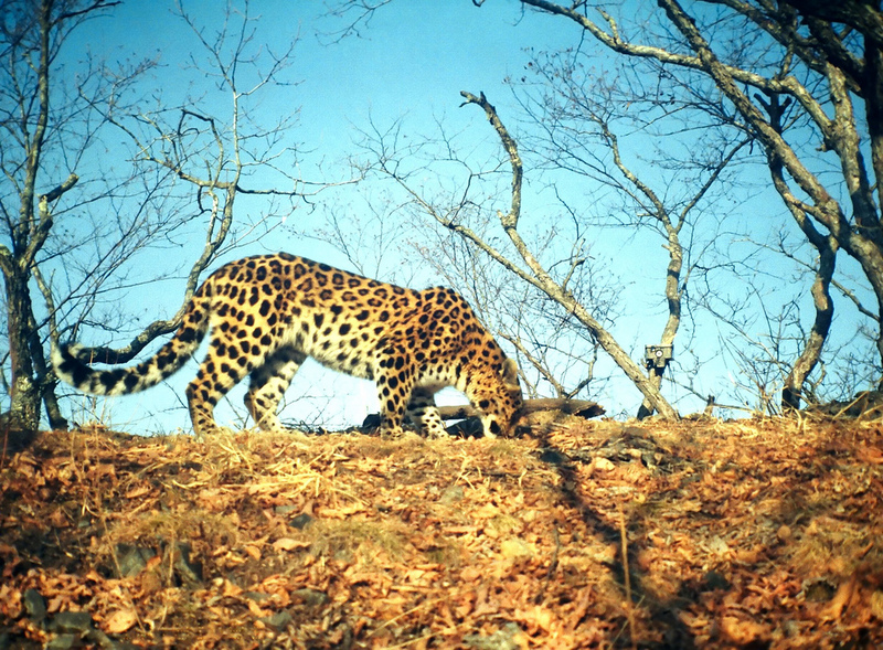 Extremely Rare Leopards Find Safe Spot in New Park [LiveScience 2012-04-10]; DISPLAY FULL IMAGE.