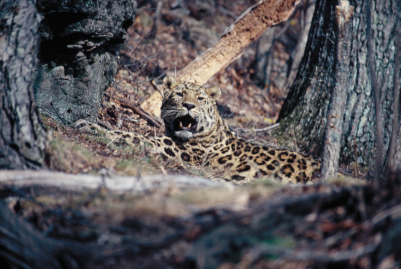 Gallery: Rare and Beautiful Amur Leopards [LiveScience 2012-04-10]; DISPLAY FULL IMAGE.