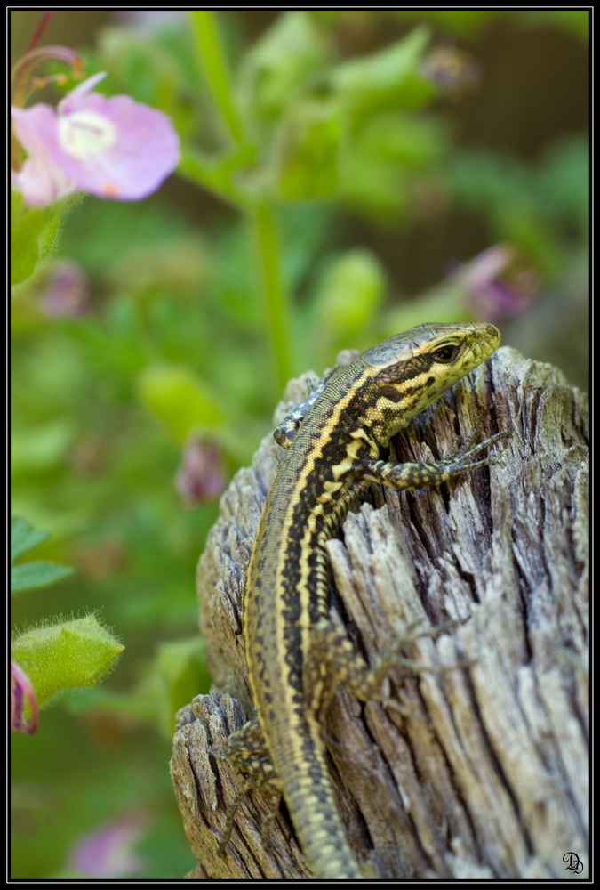 Skin Shedders: A Gallery of Creatures That Molt - common wall lizard (Podarcis muralis) [LiveScience 2012-04-10]; Image ONLY