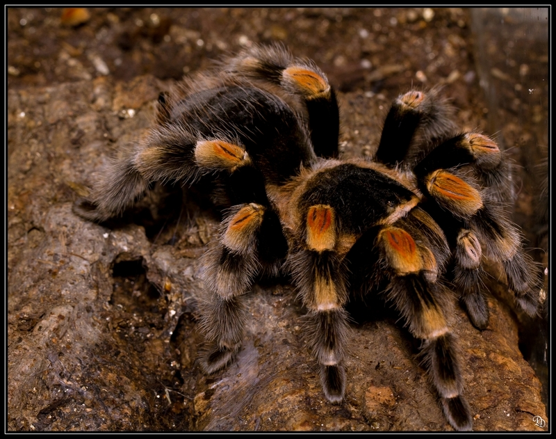 Skin Shedders: A Gallery of Creatures That Molt - Tarantula [LiveScience 2012-04-10]; DISPLAY FULL IMAGE.