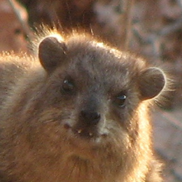 Wail, Chuck, Snort: Rock Hyraxes Sing Complex Songs [LiveScience 2012-04-17]; Image ONLY