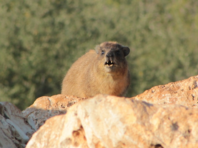 Wail, Chuck, Snort: Rock Hyraxes Sing Complex Songs [LiveScience 2012-04-17]; DISPLAY FULL IMAGE.
