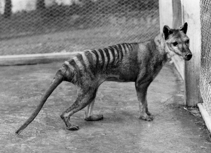 Tasmanian Tiger Was Genetically Doomed  [LiveScience 2012-04-18]; DISPLAY FULL IMAGE.