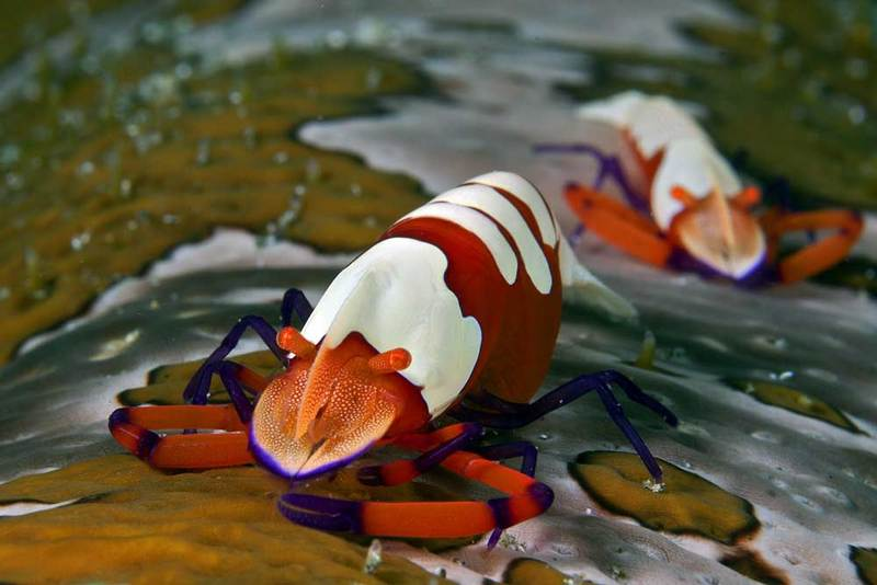 Marine Marvels: Spectacular Photos of Sea Creatures - Emperor shrimp (Periclimenes imperator) [LiveScience 2012-04-19]; DISPLAY FULL IMAGE.