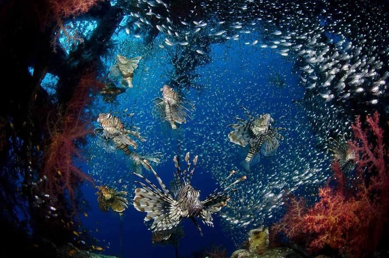 Marine Marvels: Spectacular Photos of Sea Creatures - Lionfish (Pterois sp.) [LiveScience 2012-04-19]; DISPLAY FULL IMAGE.