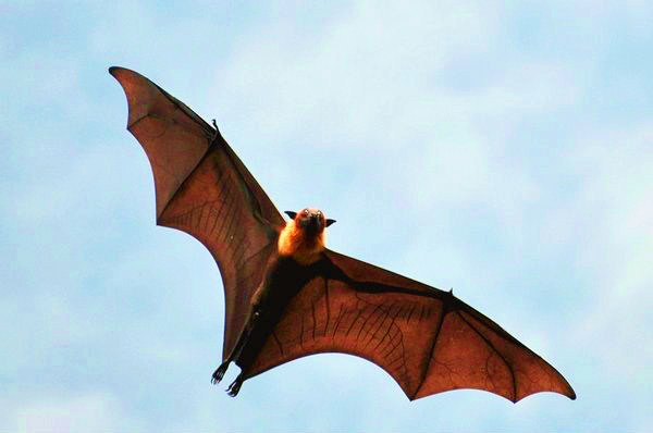Malayan flying fox (Pteropus vampyrus); Image ONLY