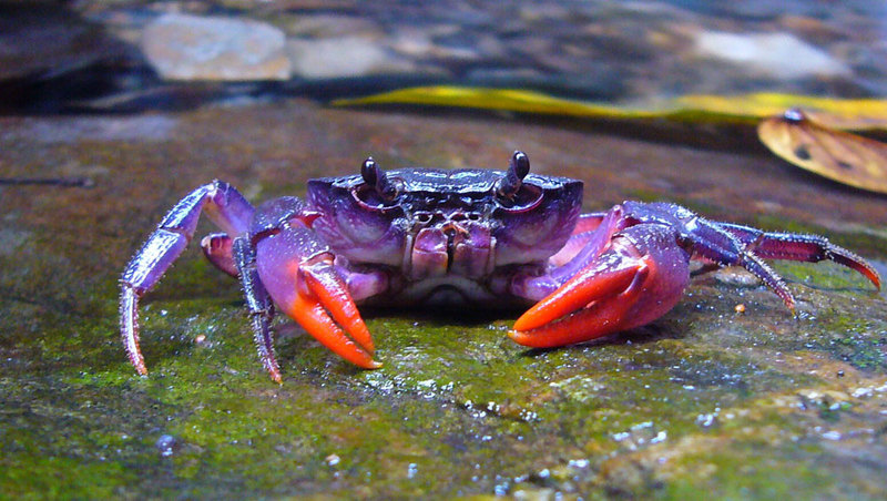 Bright Purple Crab Discovered in Philippines - Insulamon palawanense [LiveScience 2012-04-23]; DISPLAY FULL IMAGE.