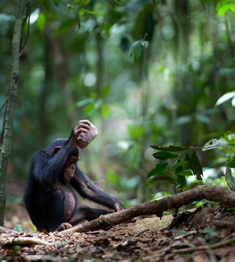 Like Humans, Chimps Have Culture, Too [LiveScience 2012-05-10]; Image ONLY