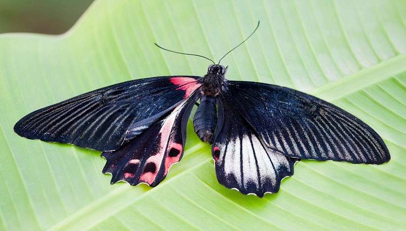 Fluttering both ways: One-in-10,000 'Ladyboy' butterfly is born half male and half female - with one blue and one pink wing [DailyMail 2012-05-09]; DISPLAY FULL IMAGE.