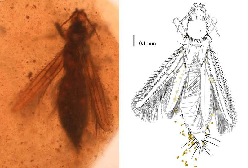 Image Gallery: Tiny Insect Pollinators Trapped in Amber - Gymnospollisthrips major [LiveScience 2012-05-14]; DISPLAY FULL IMAGE.