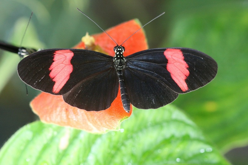 Wild Butterflies Crossbreed to Share Colors & Survive [LiveScience 2012-05-16]; DISPLAY FULL IMAGE.
