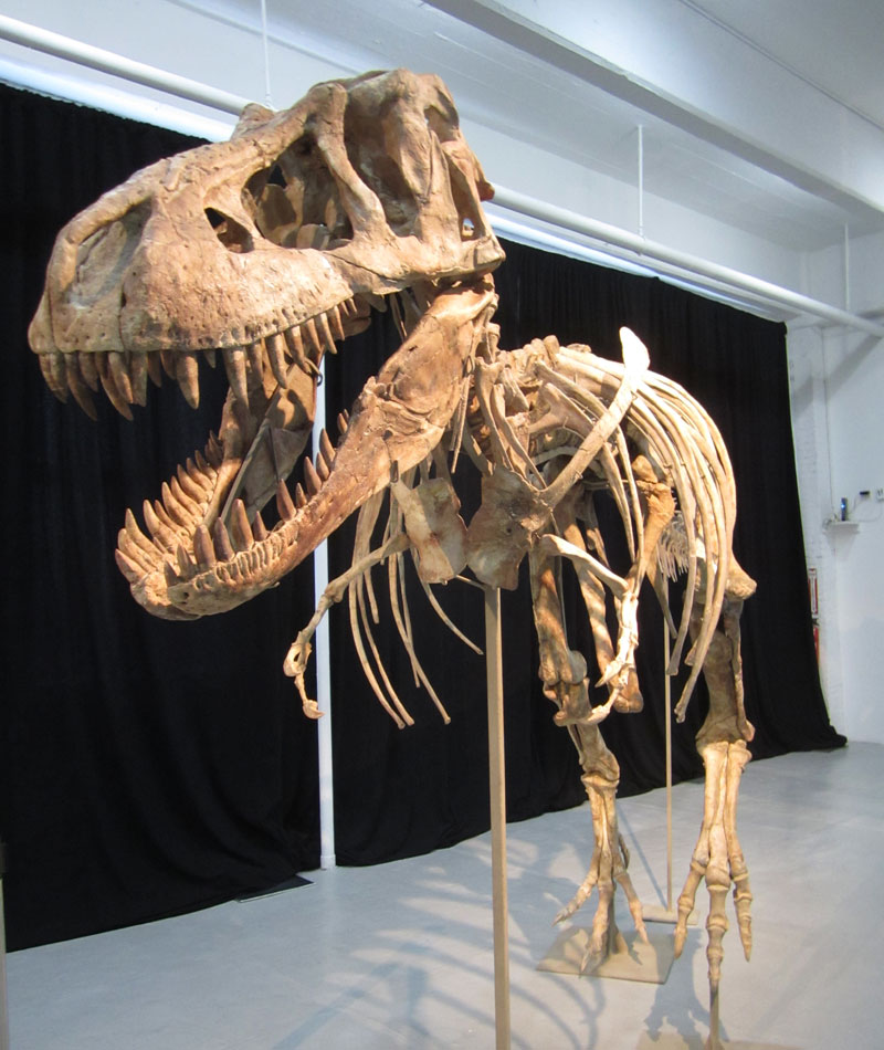 Tyrannosaur Skeleton For Sale, But Ownership Is Questioned [LiveScience 2012-05-18]; Image ONLY