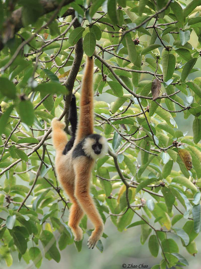 Acrobatic Primates Edge Closer to Extinction [LiveScience 2012-05-21]; Image ONLY