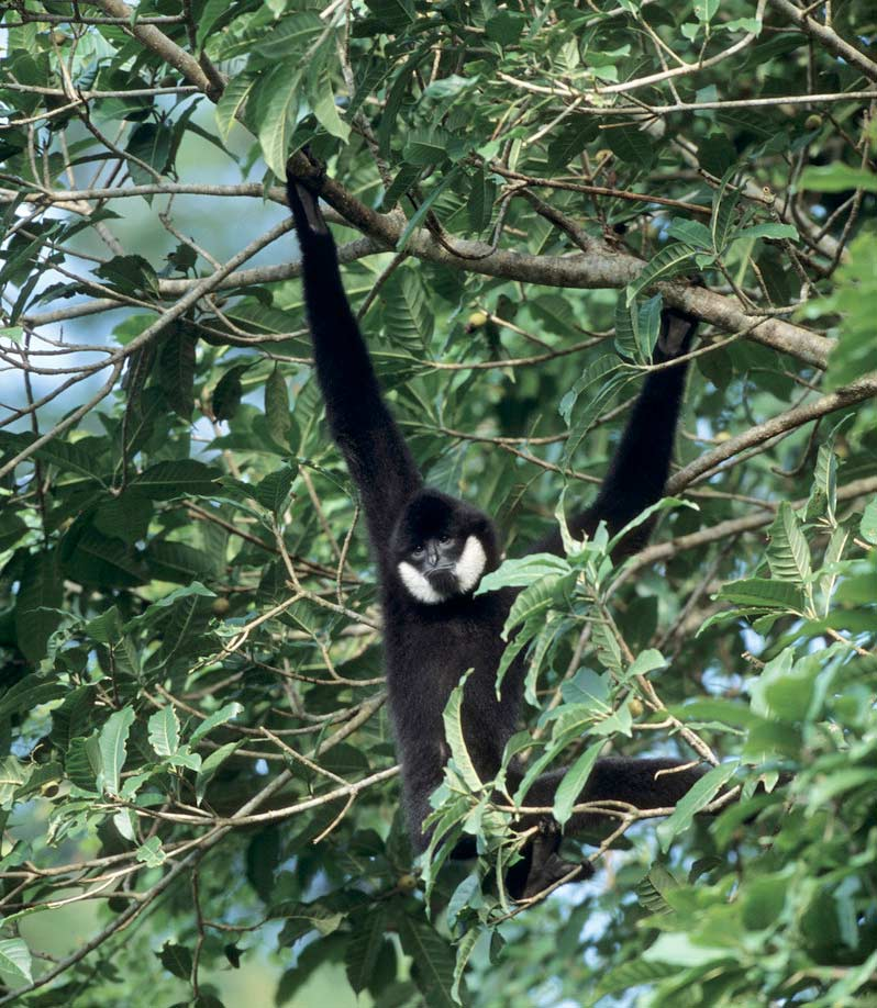 Gibbon Gallery: Photos of Charismatic Primates [LiveScience 2012-05-21]; Image ONLY