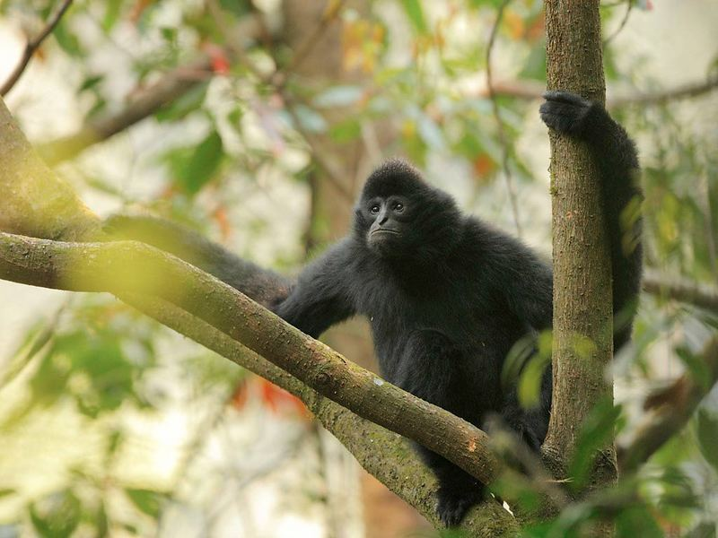 Gibbon Gallery: Photos of Charismatic Primates [LiveScience 2012-05-21]; DISPLAY FULL IMAGE.