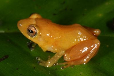 New Frog Species Is Bright Yellow [LiveScience 2012-05-22]; Image ONLY