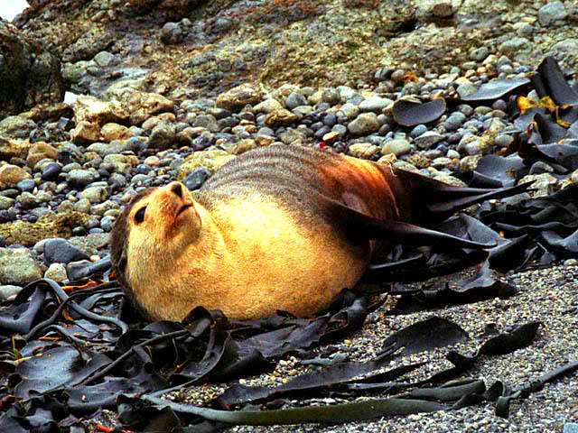 Subantarctic Fur Seal (Arctocephalus tropicalis); Image ONLY