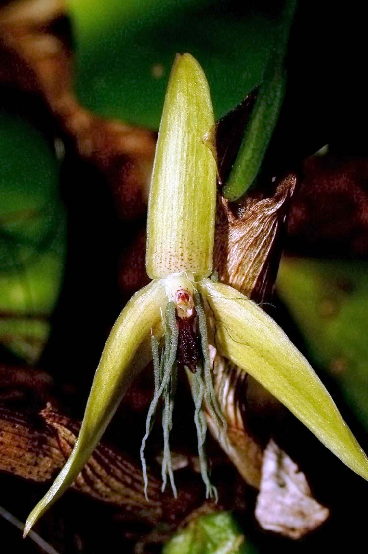 Colorful Characters: Top 10 Species of 2012 - Night-blooming orchid (Bulbophyllum nocturnum) [LiveScience 2012-05-23]; Image ONLY