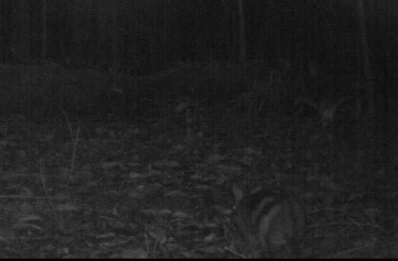 Rare & Secretive Striped Rabbit Caught on Camera [LiveScience 2012-05-29]; Image ONLY