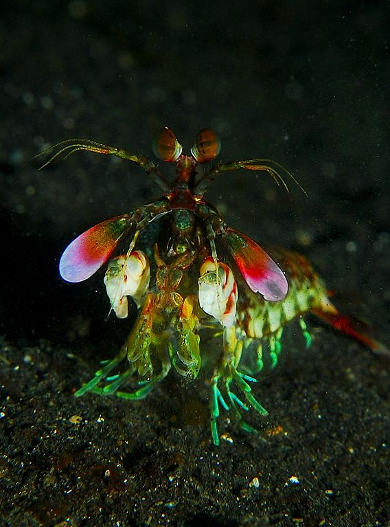 Gallery: Magnificent Mantis Shrimp - Purple Spot Mantis Shrimp (Gonodactylus smithii) [LiveScience 2012-06-07]; Image ONLY