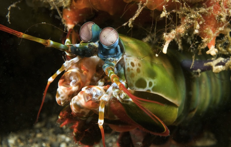 Gallery: Magnificent Mantis Shrimp - Peacock Mantis Shrimp (Odontodactylus scyllarus) [LiveScience 2012-06-07]; Image ONLY