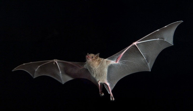 Birds Best Bats In Flying Game [LiveScience 2012-06-08]; DISPLAY FULL IMAGE.