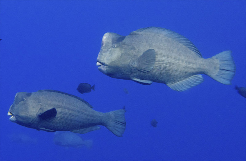 In Photos: Bizarre-Looking Reef Fish, Green humphead parrotfish (Bolbometopon muricatum) [LiveScience 2012-06-11]; DISPLAY FULL IMAGE.