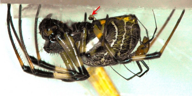 Male Spider Ditches Penis, Gains Fighting Power [LiveScience 2012-06-12]; DISPLAY FULL IMAGE.