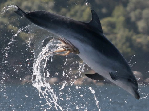Octopus Hitches Ride on Dolphin's Genitals [LiveScience 2012-06-18]; Image ONLY