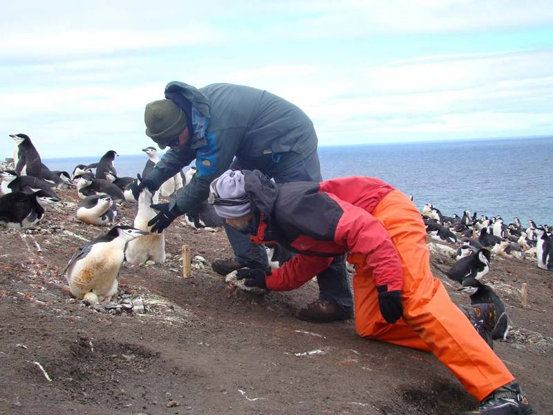 Antarctic Album: Chinstrap Penguins of Deception Island [LiveScience 2012-06-19]; DISPLAY FULL IMAGE.