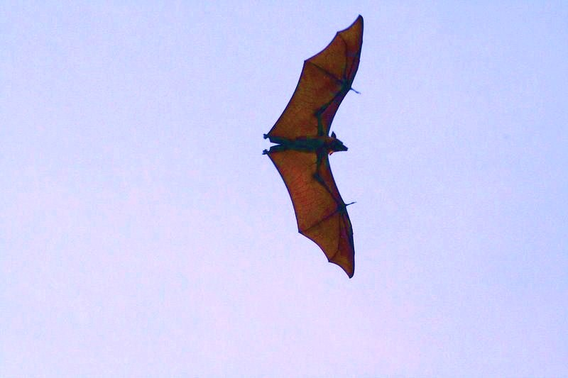 Island flying fox (Pteropus hypomelanus); Image ONLY