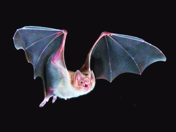 Common vampire bat; Image ONLY