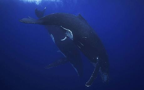 Courting humpback whale 'heat run' mating ritual captured on film [Telegraph 2012-06-24]; Image ONLY