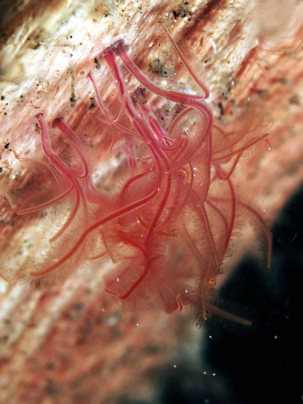 Bizarre 'Zombie' Worms Use Acid to Eat Whale Bones [LiveScience 2012-07-03]; Image ONLY