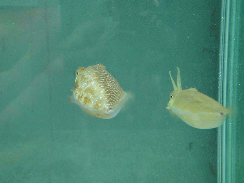 Tricky Cuttlefish Put on Gender-Bending Disguise [LiveScience 2012-07-03]; DISPLAY FULL IMAGE.